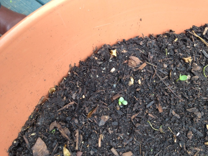 The first signs of life from my Spring planting. These will be Zinnias.