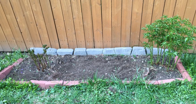 About a two weeks later, the peony flowerbed is looking better.